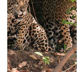 Pantanal Jaguar Spot trip Gondwana Brasil
